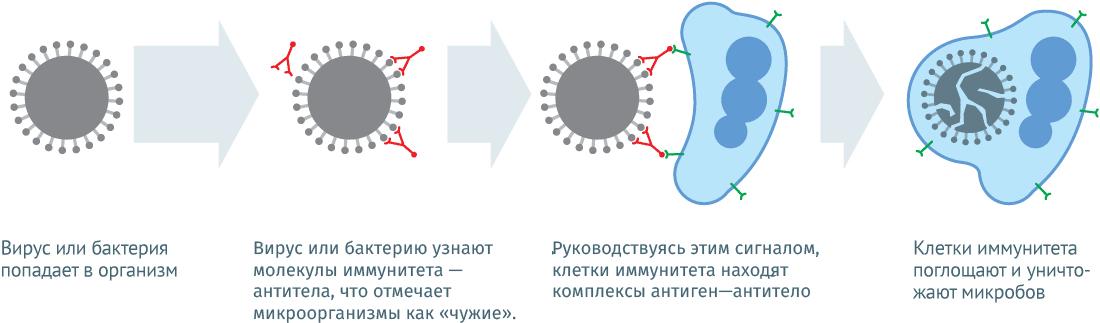Состав и механизм действия вакцин от гриппа