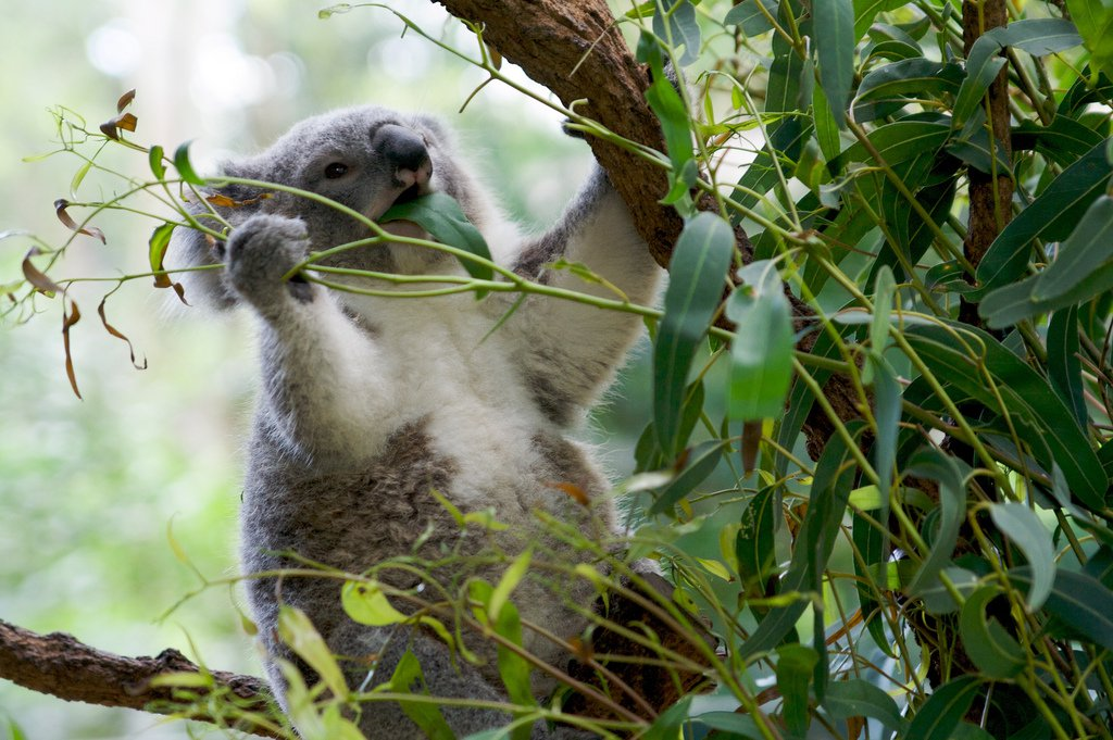 эвкалипт с коалой